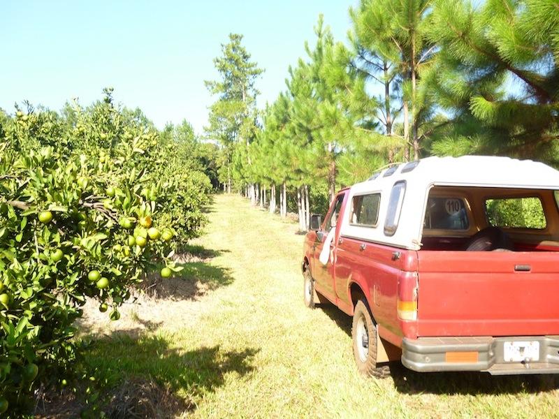 Mandarinenplantage in Dos de Mayo